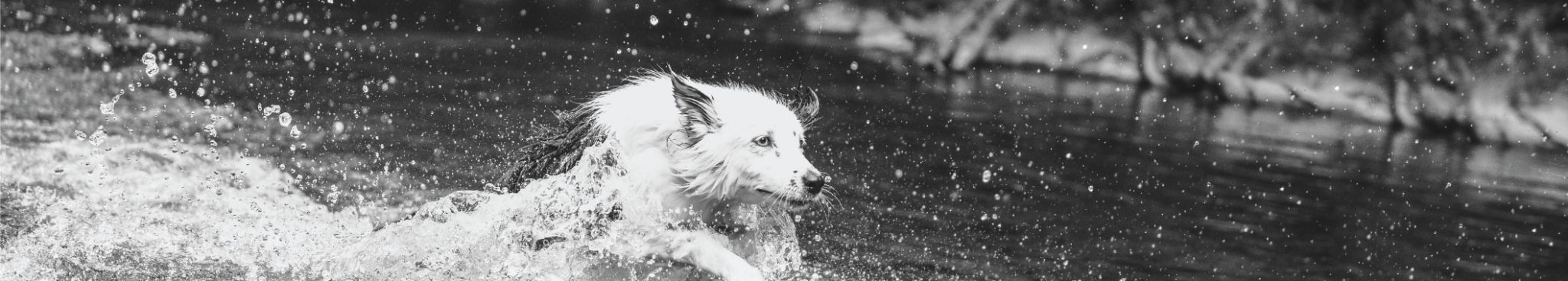 ORIJEN Fit & Trim Dog Food - White Collie running and splashing through the water - Envy from Pennsylvania